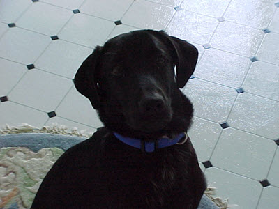 Black lab looking at the camera